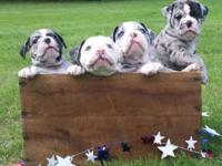 We specialize in exotic color Olde ENGLISH Bulldogges.