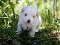 2 Female Purebred Maltese Puppies Will have registered