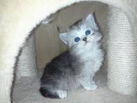 We have 2 Shaded Silver Persian kittens available, both
