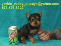 2 Female Yorkies, Born 12-10-14 And Will Be 8 weeks Old