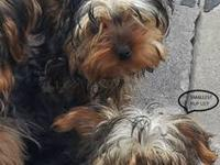 HAVE TWO FEMALE YORKIES FOR SALE going to be 4 months I