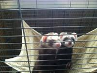 I have 2 male ferrets that I am looking for a home for.