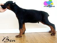 We have 2 free AKC Doberman Puppies. That I would like