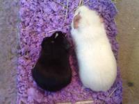 I'm giving away 2 guinea pigs for FREE! They eat