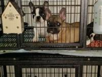 2 French bulldogs available from a litter of 8. All