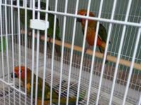 I have 2 beautiful green cheek babies for sale They are