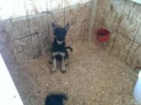 I have 2 female German shepherd puppies They are 10