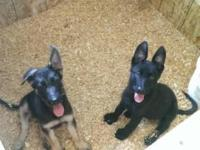 I have 2 German shepherd puppies 1 female all black 1