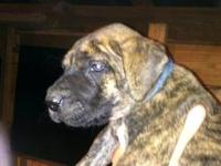 I have 2 great dane puppies left both are black one