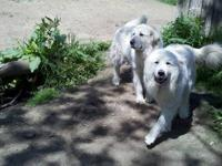 I have two fully trained great pyrenees females for