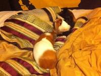 Up for sale are two really sweet guinea pigs that we
