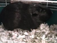 I have two female guinea pigs that are very sweet that