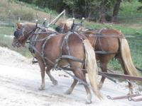 2 Haflinger pony mares. Broke to ride and drive very