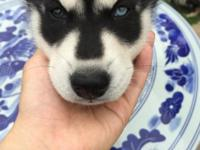 I have a Serbian Husky for sale. I have shots records,