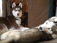 I have to Siberian Huskies for adoption. Teeko is