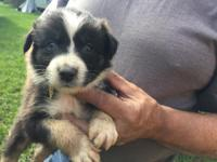 Kristoff is a CKC Registered Black Tri Male with 1 blue