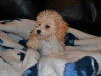 We have a Gorgeous litter of Shih Tzu/Poodle Puppies