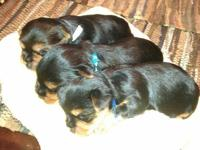Abkc litter is $400 due February 2nd ukc pr / abkc