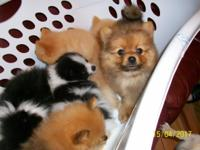 THESE PUPS ARE READY,WITH HEALTH CERTIFICATES,&FIRST