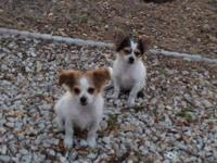 Two adorable long hair chihuahua boy puppies. Born on