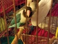 I have two love birds for sale , not hand tame come