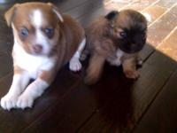We have 2 MALE Chi pups, born November 6th. They will