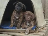 I have 2 male american bandog puppies for sale $600 for