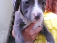 2 blue American Hole Bull young puppies. They have