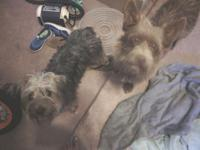 We have two male small breed terriers, each weighs