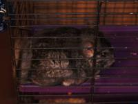 I have 2 male chinchillas for sale. They both are