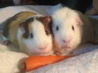 2 BOY Guniea Pigs to Rehome. My cats are not meshing
