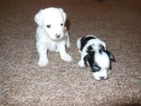 2 Male maltipoo puppies. I additionally have girls @