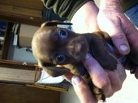 I have 2 Chihuahua Mixes left from 2 different litters.