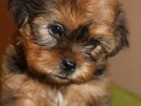 2 male shorkie young puppies, born 11/1/14. All set to