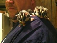 I have 2 male sugar gliders with a 5 foot cage, running