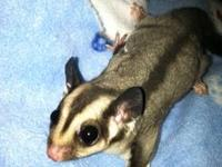 I have 2 Standard Gray gliders to re-home.One is 2yrs,