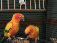 Two bright colorful sweet, loving, male Sun Conures.
