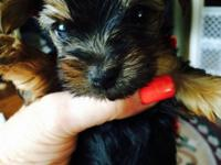 Only 2 T-Cup Yorkies Males left out of 5 Mommy is AKC