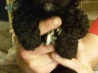 2 male toy poodle puppies ready to go purebred no
