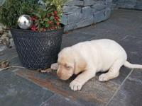 Two male p/b yellow labs available for rehoming.Born