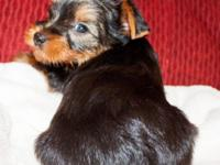 I have 2 Male purebred Yorkies offered for deposit.
