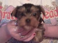 Two 9 week old Yorkie puppies left. They are full