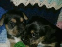 I have 2 male Yorkie Russell pups left.they are 4 weeks