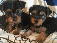 2 Yorkie puppies ready Pictures 1,2,3,4,5 is 2 males