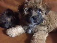 We have two 7 week old male puppies left. Friendly,