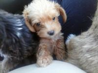 I have 2 male yorkie poo pups they are virtually 8