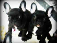 AKC French Bulldog Puppies, Puppies were born on :