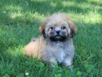 Only 2 boys left! Adorable Lhasa Apso puppies ready