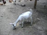 I have 2 milk goats for sale. They are both
