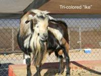 2 proven mini nubian bucks for breeding. Both tame and